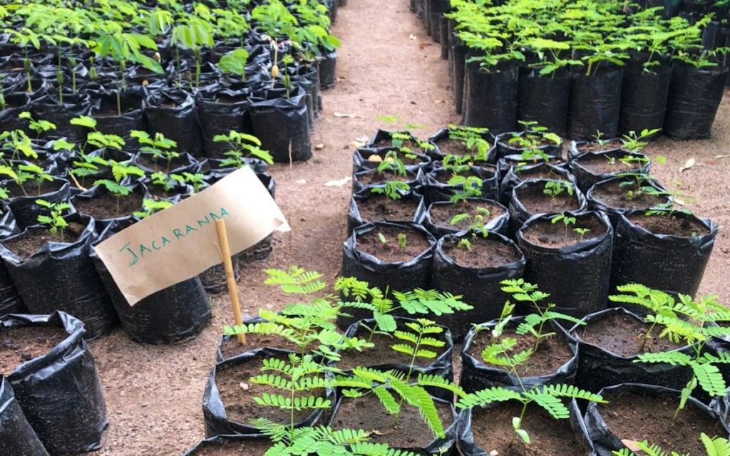 Jacarandas to Plant for Likoma Reforestation Project
