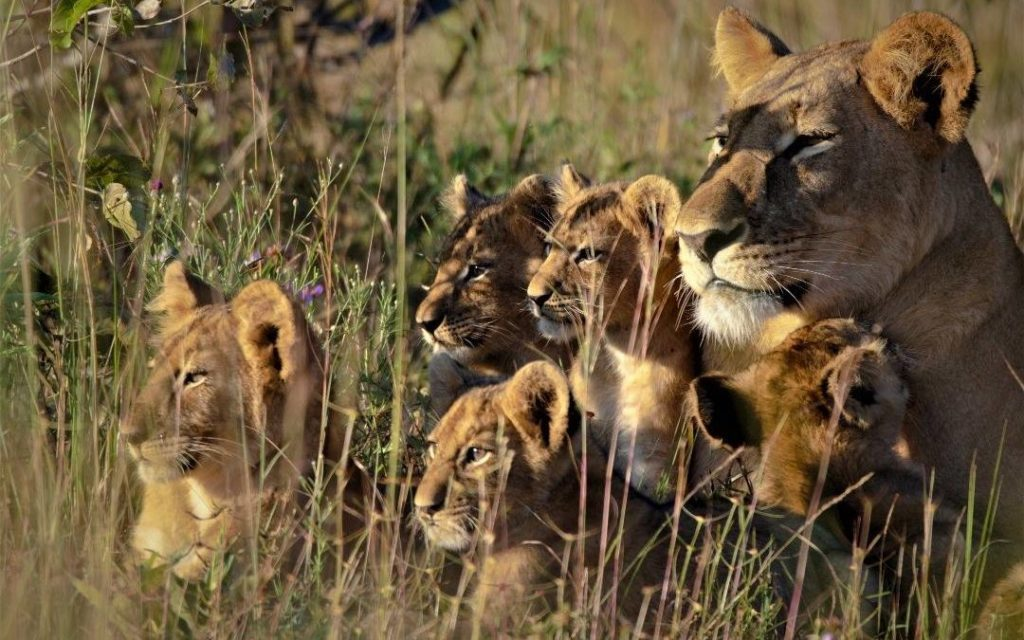 Lion and Lion Cubs Caught on Camera in a Zambia