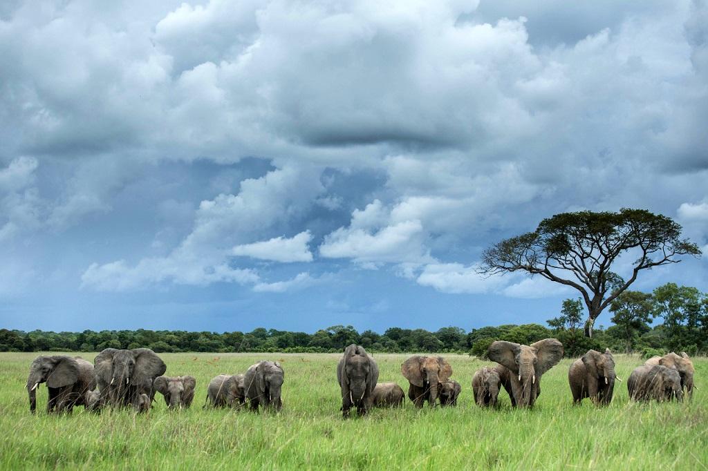 Herd of Elephants Walk in Kafue National Park