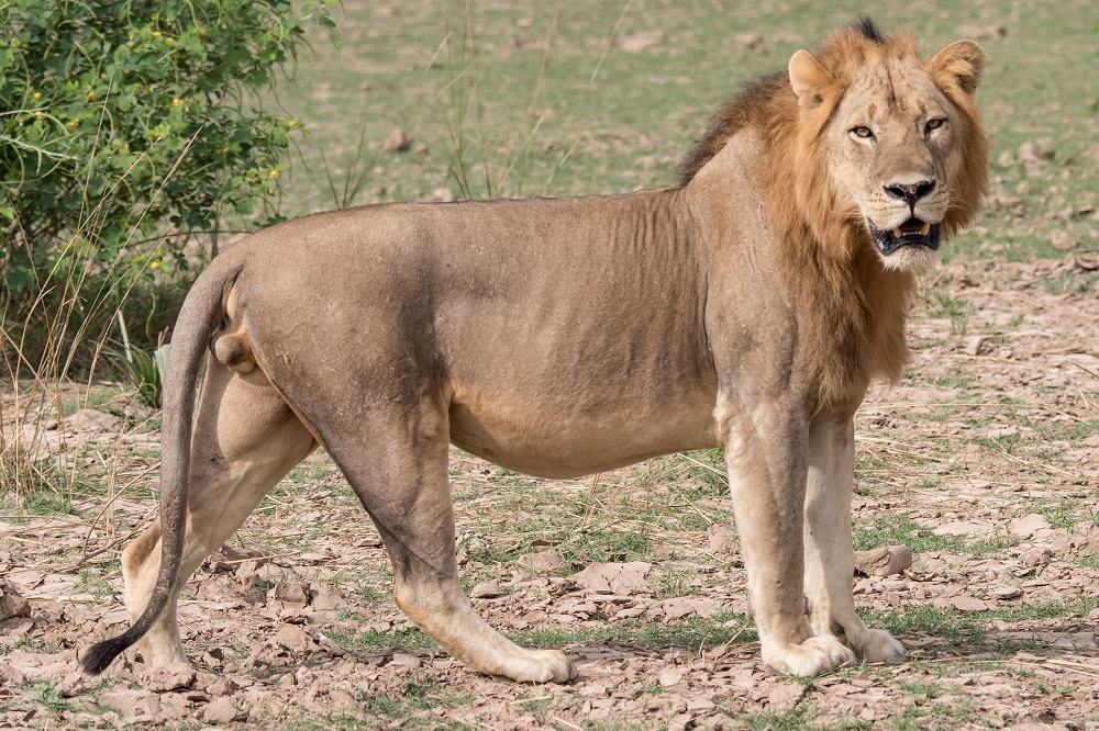 Male Lion Looks at Camera