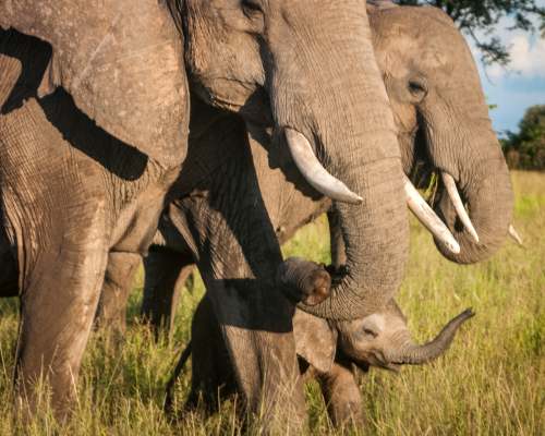 Elephant Calf in Elephant Herd in Grass