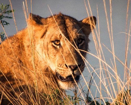 Lioness Looking Through Grass Past Camera